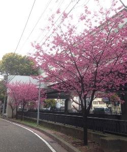 桜が見頃ですです。