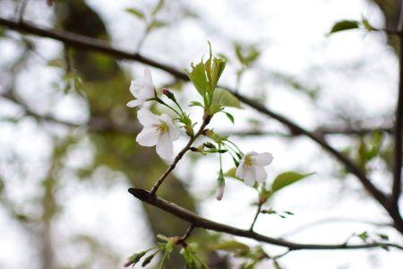 3月30日・31日はお花見会開催。