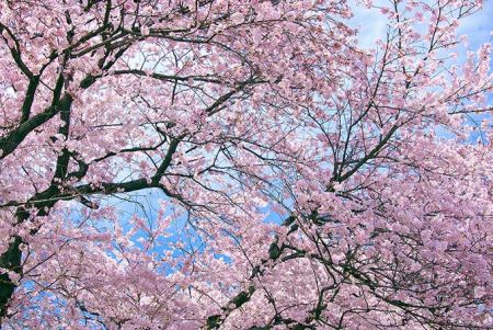 4/5(金)~4/7(日)ディーラーオープンハウスSAKURA試乗会開催!
