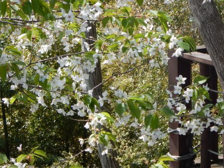 3月23日から29日までお花見会開催。